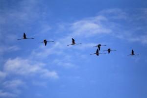 フラミンゴ飛翔1