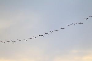 フラミンゴ飛翔2