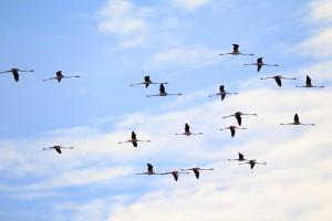 フラミンゴ飛翔3