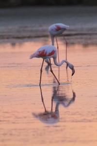ピンクに染まるフラミンゴ