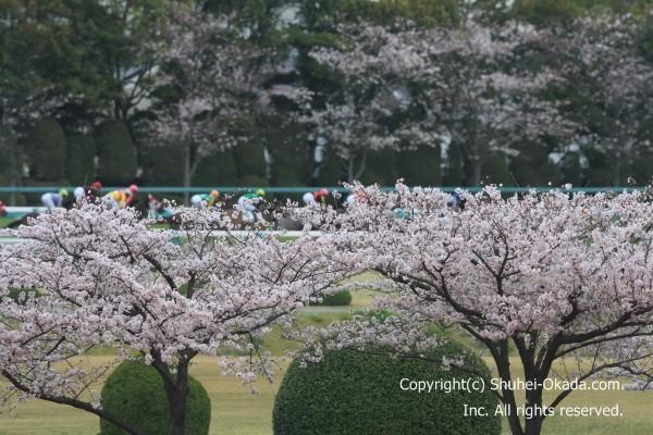 阪神競馬場桜4