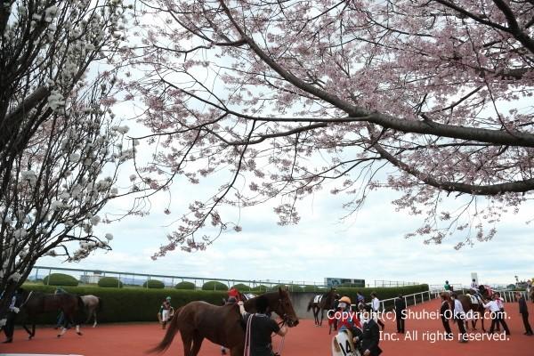 阪神競馬場桜1