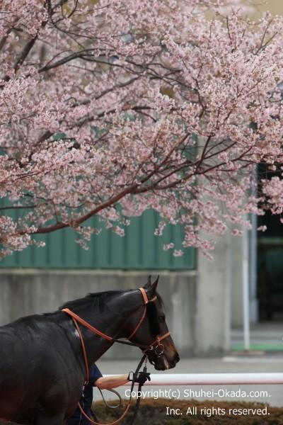 阪神競馬場桜3