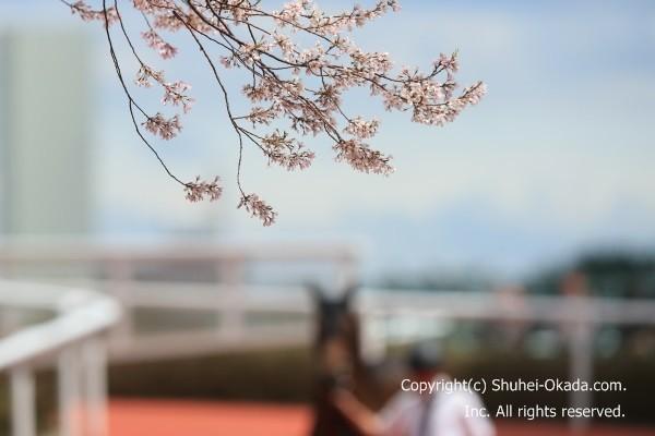 阪神競馬場桜2