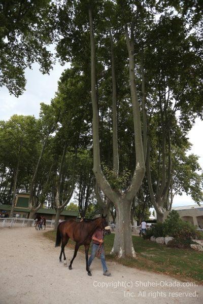 パドックの樹